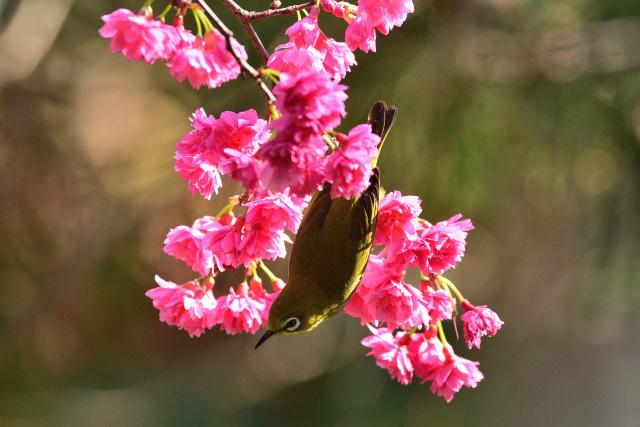 八重桜とメジロ(5)