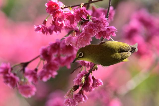 八重桜とメジロ(6)