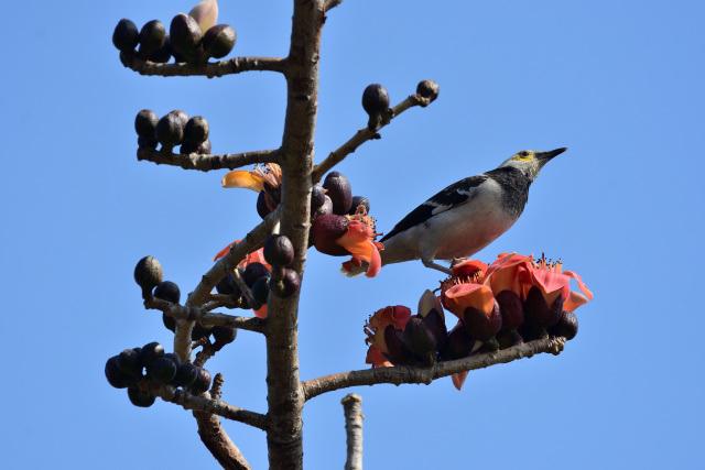 キワタの木と野鳥(5)