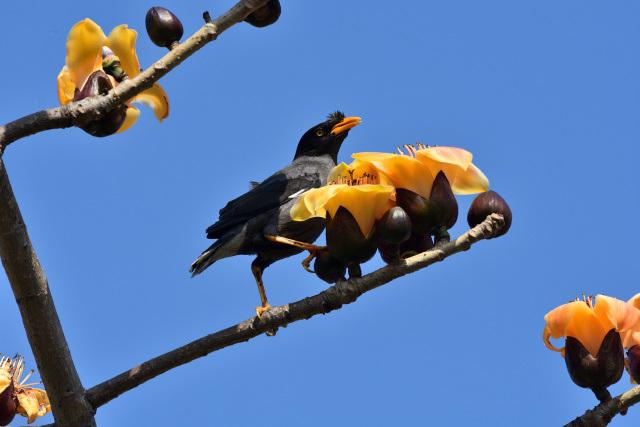 キワタの木と野鳥(4)