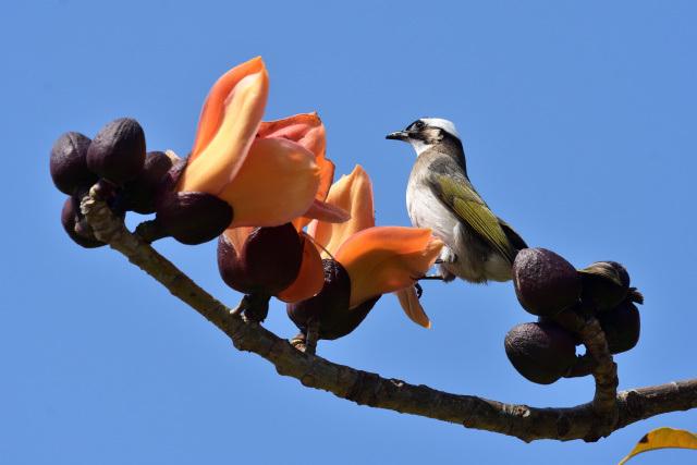 キワタの木と野鳥(2)