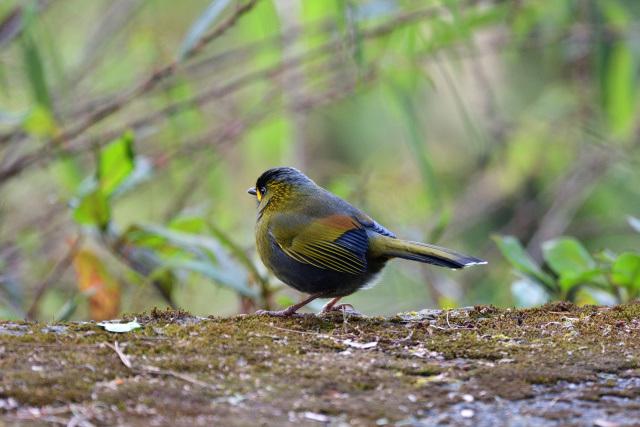 藪鳥(4)
