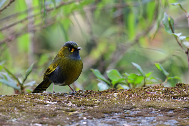 藪鳥(3)