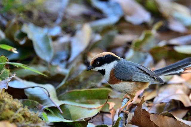 阿里山の野鳥(4)