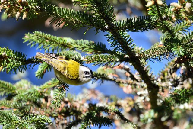 阿里山の野鳥(3)