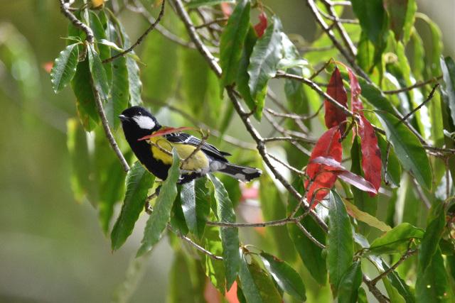 阿里山の野鳥(1)