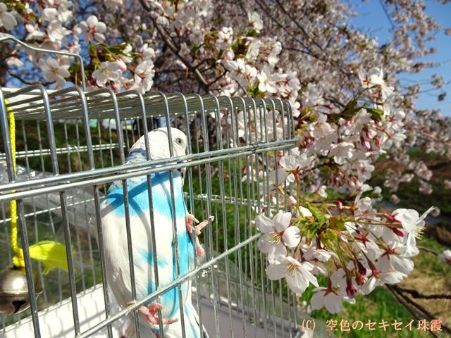 お花見に来ました 空色のセキセイ珠霞