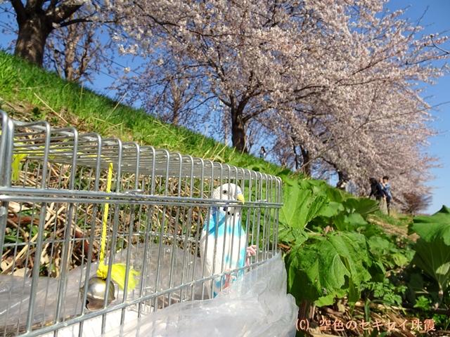 桜並木 空色のセキセイ珠霞