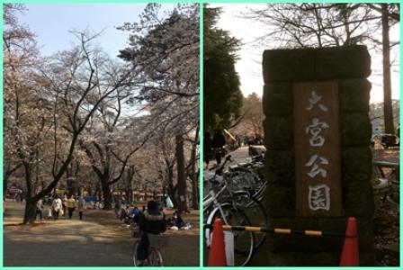 桜大宮公園
