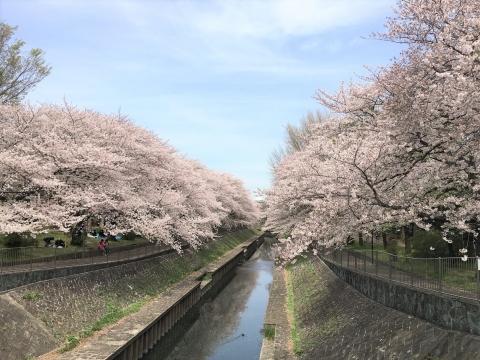 1704sakura1.jpg