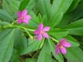 Talinum portulacifolium