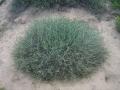 Rhanterium epapposum