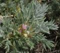 Astracantha arnacantha subsp Aitosensis