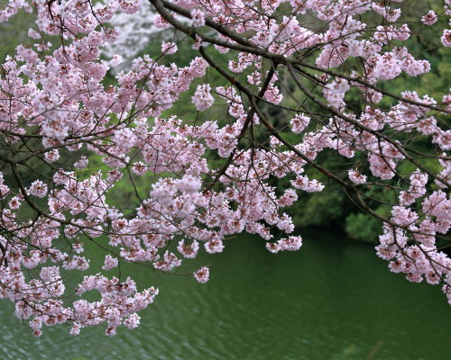 kojou sakura (2)