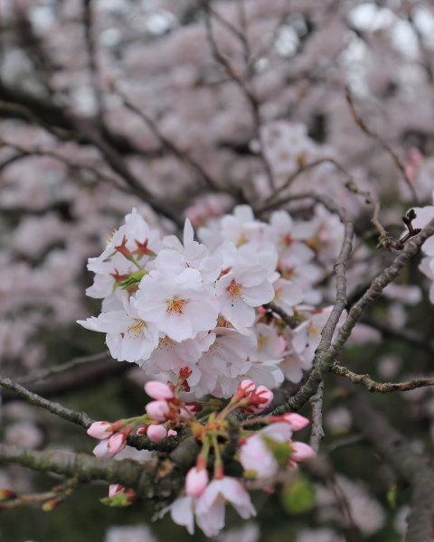 kojou sakura (10)