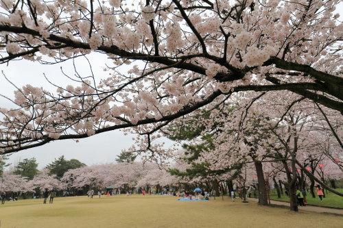 kojou sakura (8)