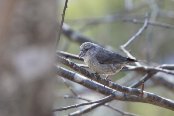 イスカ幼鳥