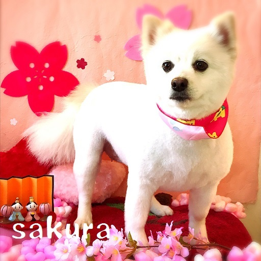 sakura 藤井