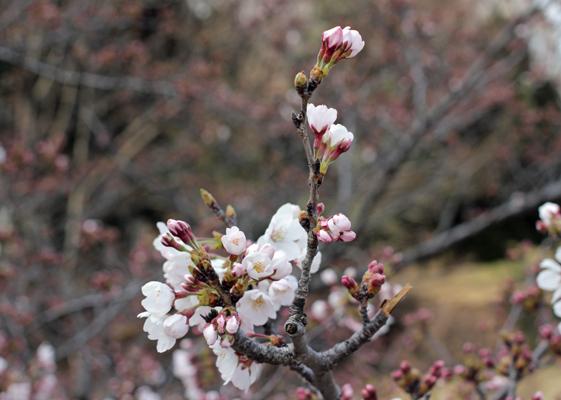 光が丘公園 桜