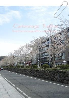 2017年段葛の桜