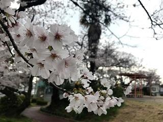 入学式の桜2017
