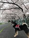 弥冨公園の桜2017