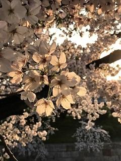 山崎川の桜2017