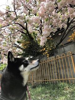 茶々・八重桜