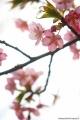 押切さんの桜