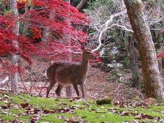 高峰山・松野町で鹿の子