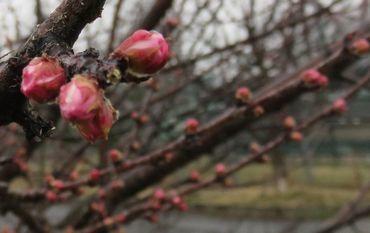 IMG_7406桜