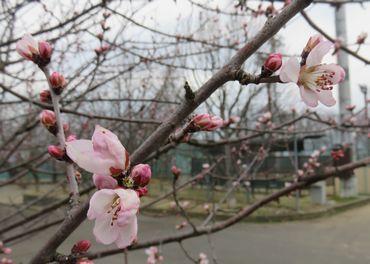 IMG_7588魯桃桜