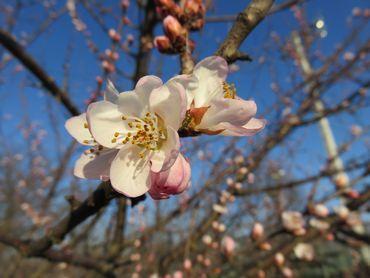 IMG_7660魯桃桜