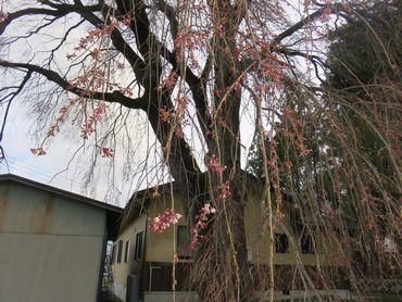 IMG_7894お宮しだれ桜