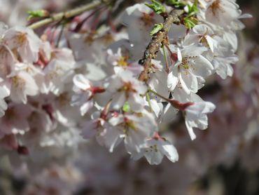 IMG_8095しだれ桜
