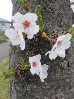 IMG_8103ソメイヨシノ