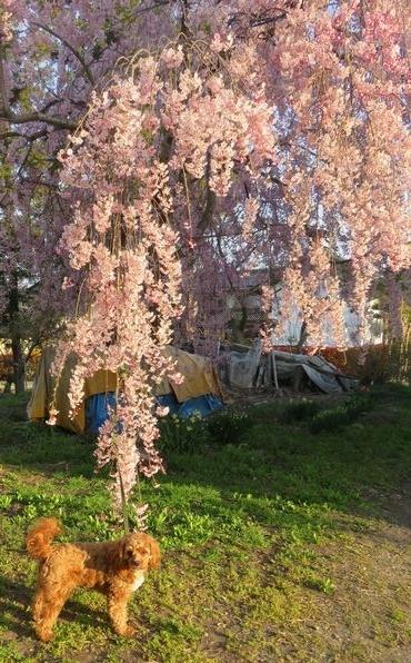 IMG_8297平成しだれ桜