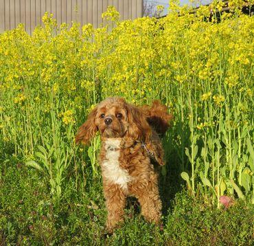 IMG_8305菜の花