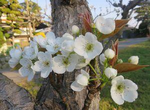 IMG_8296梨の花
