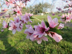 IMG_8309桃の花