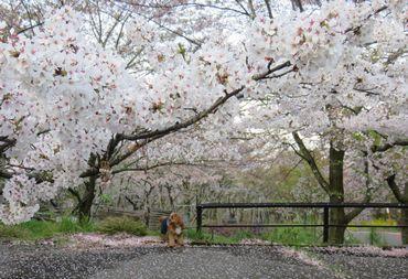 IMG_8452桜吹雪