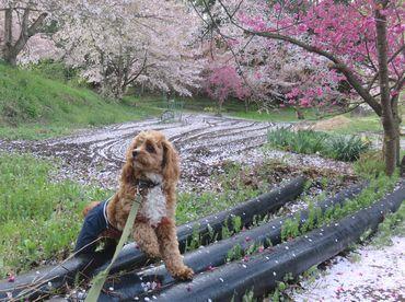 IMG_8457桜吹雪