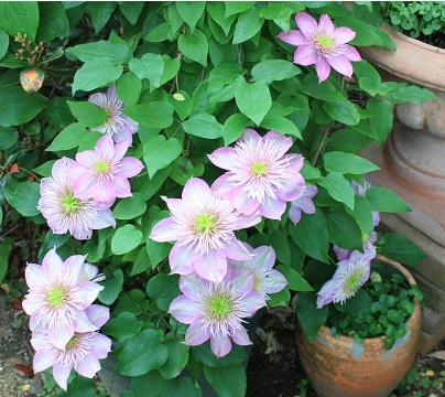 2017May6clematis.jpg