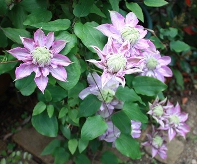 2017May6clematis2.jpg