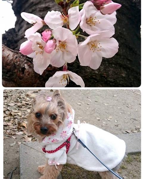 3月末の桜と凜