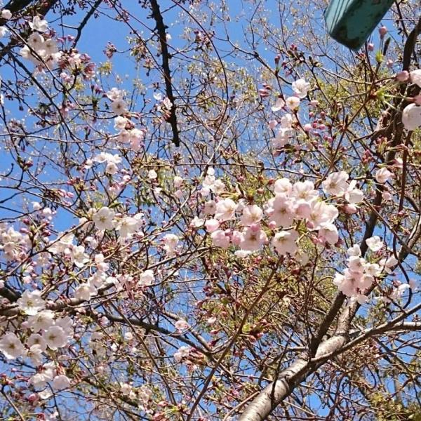 4/3の桜
