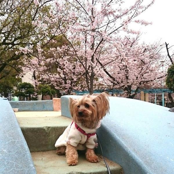 いつもの桜の場所