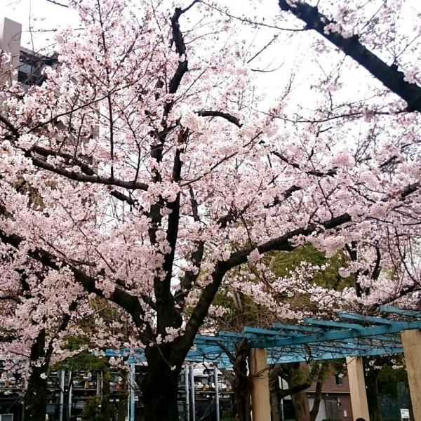 今年の桜①