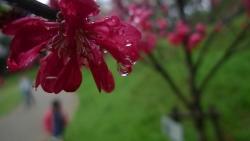 20170408雨の桜5