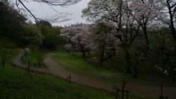 20170408雨の桜4